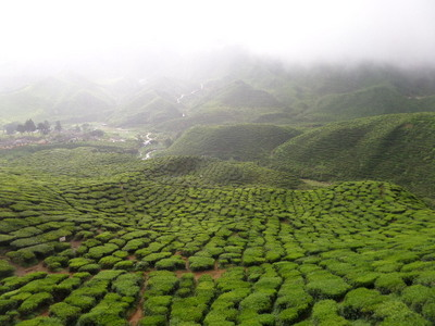 View from the Bharat Tea Plantation