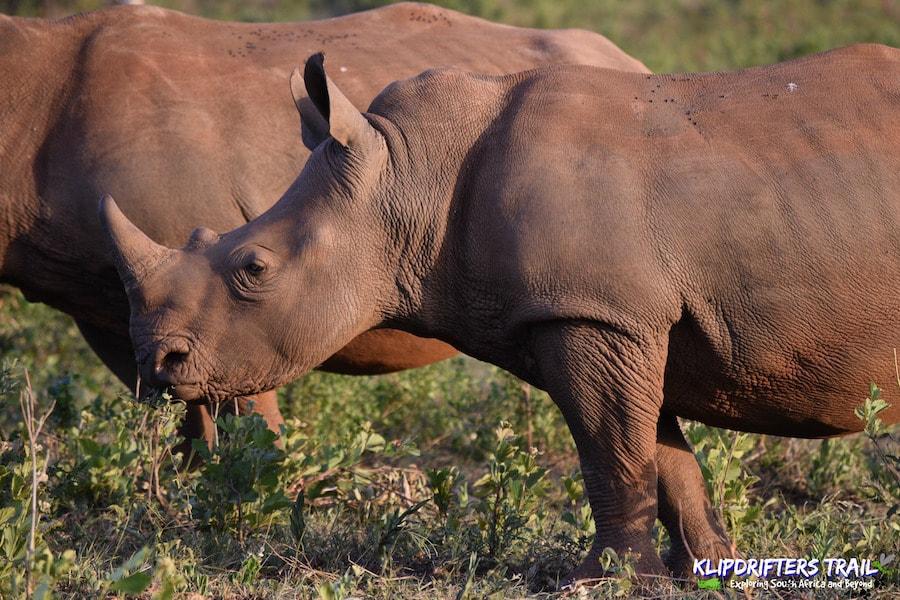 Rhino in Africa