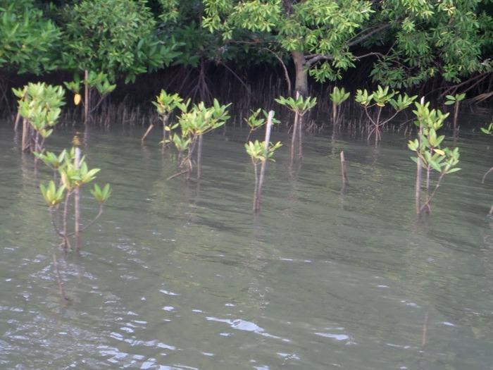 Baby mangroves
