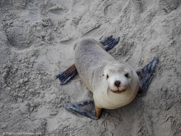 Seals in Australia