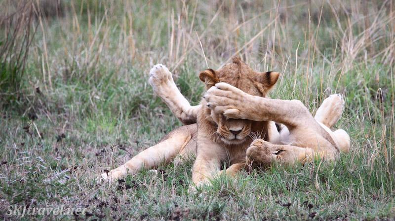 lionFBpeekaboo