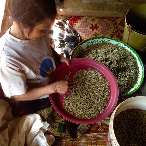 Woman sorting Coffee