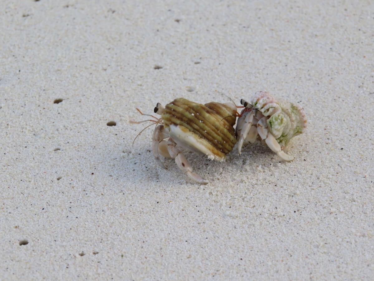 ukulhas-hermit-crab