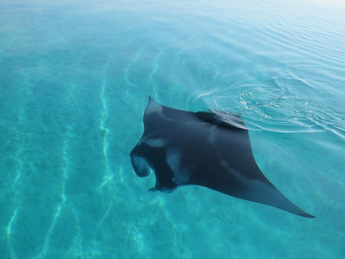 manta-rays-ukulhas