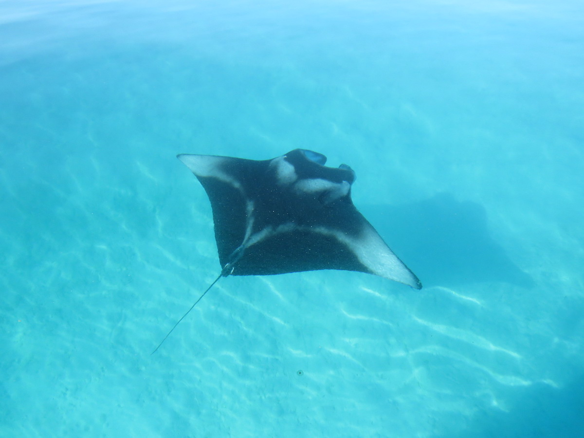 manta-ray-spotting-maldives