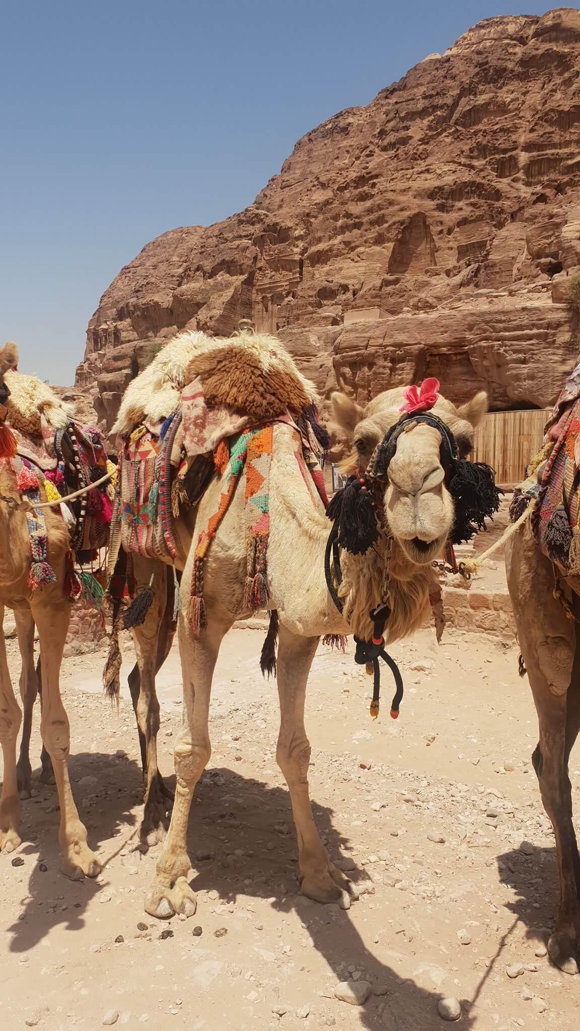 petra-camel